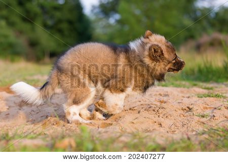 Cute Elo Puppy Plays In A Sand Pit