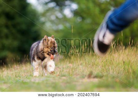 Cute Elo Puppy Follows A Running Man