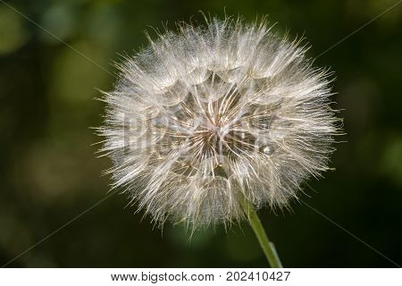 Dandelion. Dandelion fluff. Dandelion tranquil abstract close up art background.