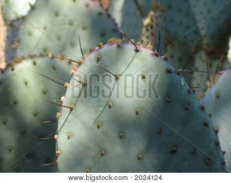 Closeup Of Prickly Pear Cactus