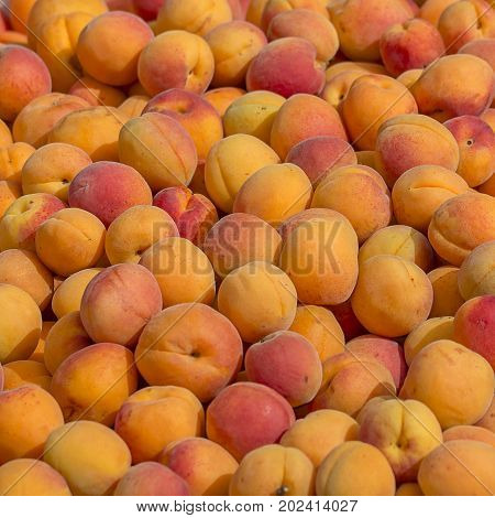 Apricot harvest. many apricots. apricot texture. apricots from tree