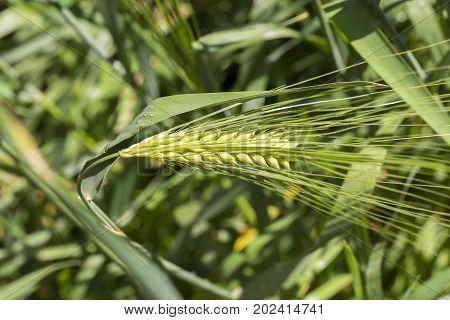 Green wheat stalk in Ukraine. Close up
