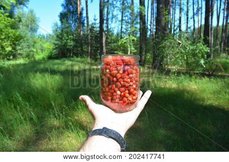 Wild strawberry woodland strawberry Alpine strawberry in preserving glass in men hand with forest background. Gathering Strawberries Harvest.