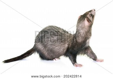 female ferret in front of white background