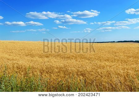 A wide yellow field of spikelets of wheat and a blue sky above it. Sunny weather. The concept: peace and prosperity.