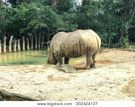 Captive southern white square-lipped rhinoceros drinking water