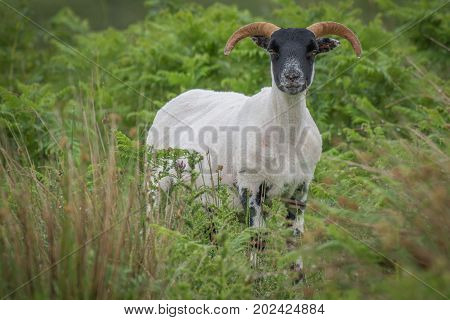Alert portrait of a sheep with horns that has just been shorn standing looking forward amongst grass with grass in its mouth
