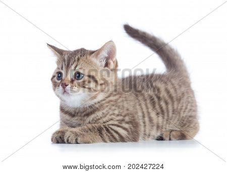 Cute Scottish Straight Breed Cat Kitty Lying On White Background