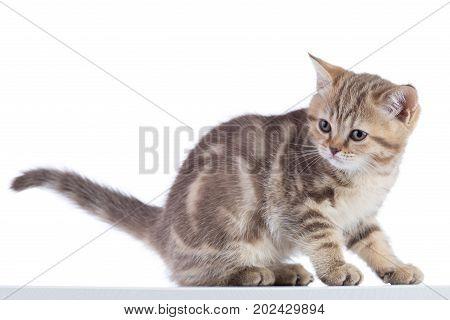 Cute Scottish Shorthair Kitten Cat Isolated