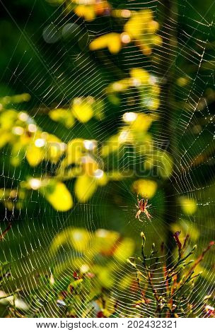 lovely background with red spider in the web on beautiful forest foliage bokeh
