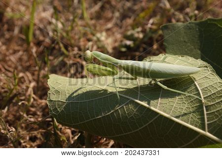 Praying mantis (Mantis religiosa) sitting on a leaf picture from the North of Greece.