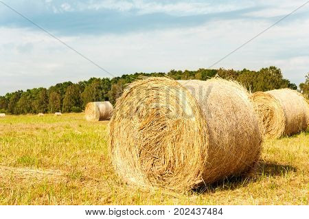 Many yellow straw bales/rolls on stubble field after harvesting. Harvest time scenery. Vibrant multicolored horizontal outdoors image.