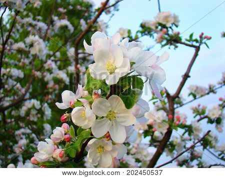 In the spring, the branches of the apple tree are similar to the attire of the bride.