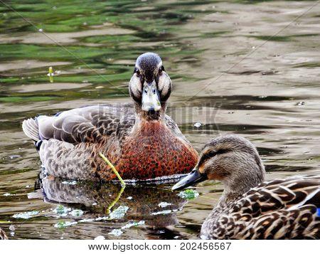 Close up, the duck facing toward the camera