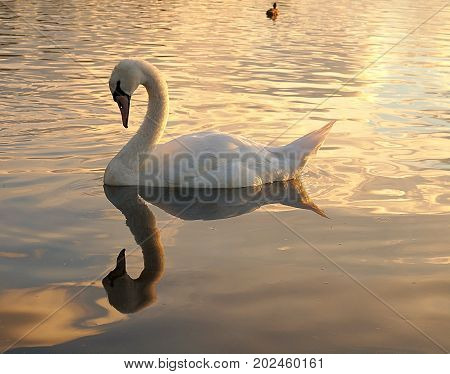 Swan in the mirror with water. Forfar, Scotland - August 01, 2017 White Swan on the water of Lake Forfar, Scotland.