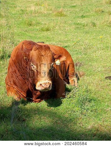 Bull from a Scottish farm. Forfar, Scotland - August 02, 2017 Large bull sitting on a farm pasture on the outskirts of Forfar, Scotland.