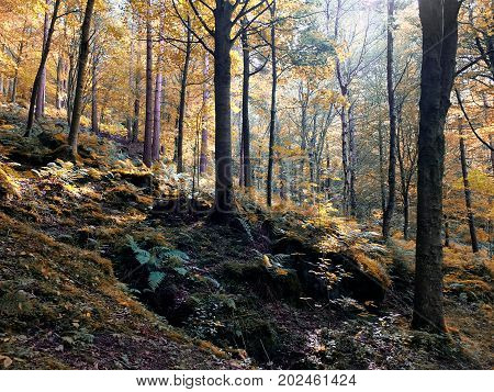 sunlit woodland in early autumn with mixed forest trees with golden fall colored leaves on a rocky fern strewn hillside