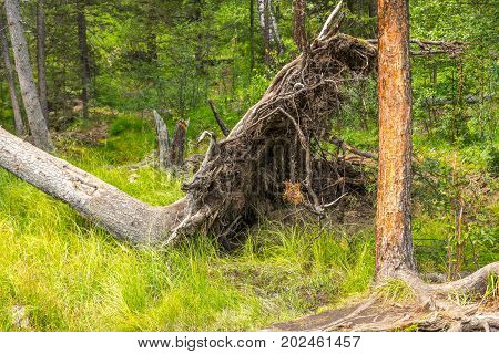a fallen tree in the Altaian marshes, an interesting place