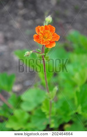 Dwarf Orange Avens (geum Coccineum)