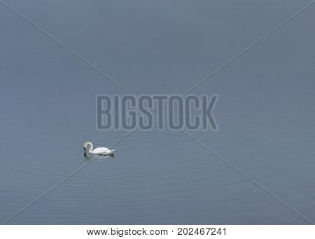 Bird swimming in Draycote Lake in a foggy morning.