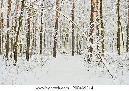 Snow forest on a wintery gloomy day covered with snow.