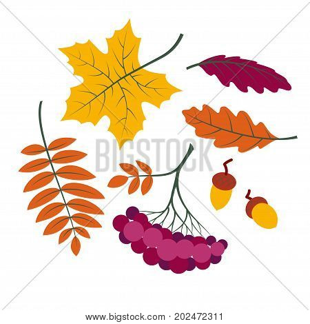 Autumn leaves set colorful collection silhouettes of tree leaves (maple rowan leaf rowanberry oak acorn etc.) simple cartoon style isolated on white background vector illustration