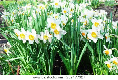 White spring narcissus flowers. Narcissus flower also known as daffodil daffadowndilly narcissus and jonquil.