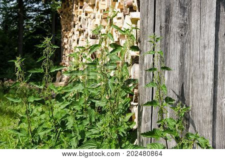 Stinging nettles next to a woodshed. Common nettles, Urtica dioica, in front of a weathered wooden wall and stacked firewood. Natural still life and rural scene. Photo.