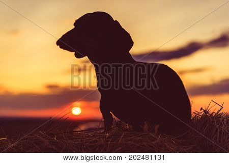 silhouetted a dog (puppy) breed dachshund black tanagainst the sunsetting or dawn sky