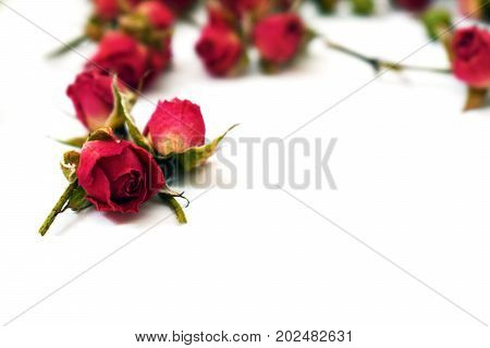 Bright red roses on a white background. Withered flowers