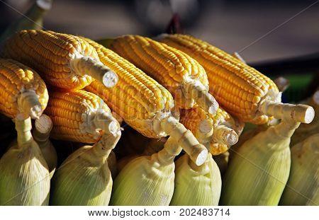 Ears of fresh yellow sweet corn .
