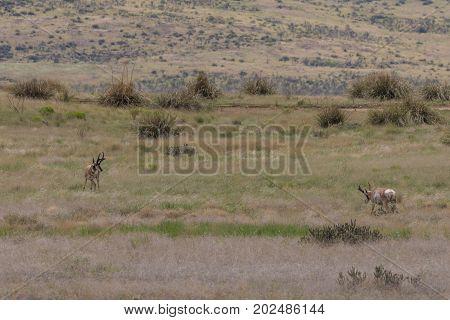 a pair of pronghorn antelope bucks on the Arizona prairie