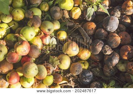 Autumn Organic Fruit Harvest. Very rotten Green, Yellow and Red Apples