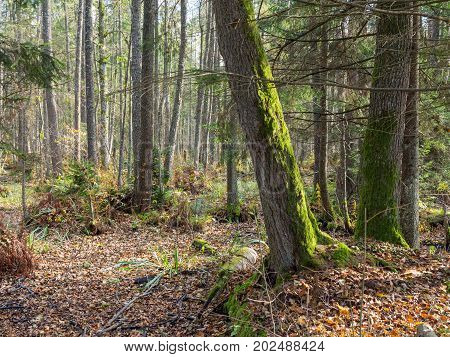 Autumnal wet mixed forest with dry leaves around, Bialowieza Forest, Poland, Europe