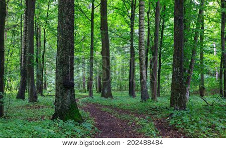 Narrow path crossing old deciduous stand with couple of birch trees in summertime warm morning, Bialowieza Forest, Poland, Europe