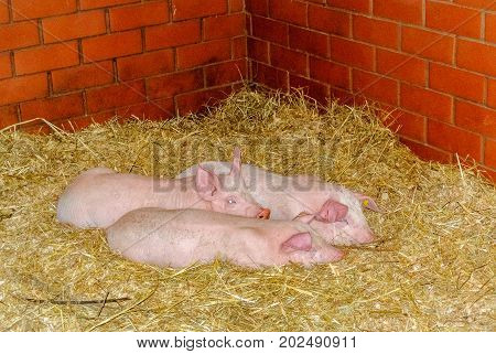 Three Pink Little Piglets Lie In Straw