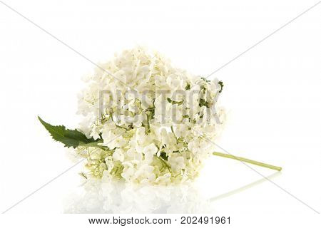 White Hydrangea Mariesii isolated in studio