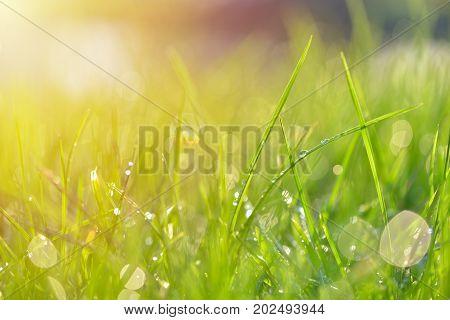 Grass texture. Fresh green spring grass with dew drops background closeup. Sun. Soft Focus. Abstract Nature spring Background springtime. Environment concept lawn Meadow grass
