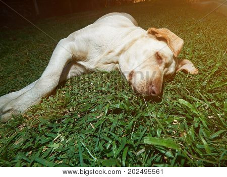 Lazy brown labrador lay on green grass background. Brown relaxed labrador dog