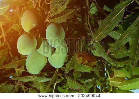 Close-up of mango fruits hanging on tree. Green big mango fruits