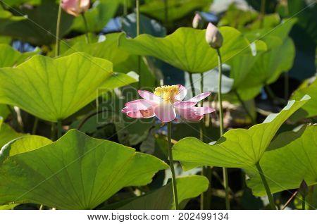 Lotus flower in a flood plain of the Volga River in the Volgograd region in Russia