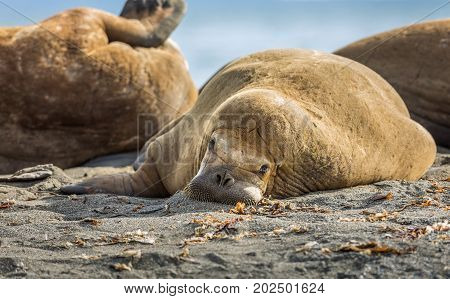 Walrus lying in the sand, looking tired and uninspired