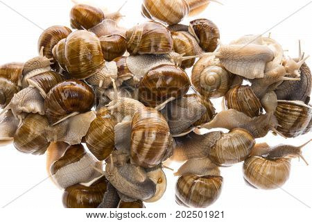 snail (Helix pomatia) - Burgundy snail - edible snail isolated on a white background