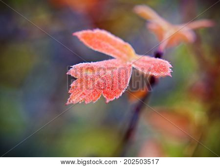 Frost Covered Leaf Backlit