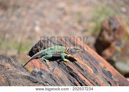 collard lizard seen in Arizona's petrified forest / painted desert national park