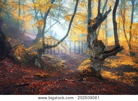 Autumn foggy forest. Mystical autumn forest in fog in the morning. Old Tree. Landscape with trees, colorful orange leaves and fog. Nature. Enchanted foggy forest with magical atmosphere. Fall colors