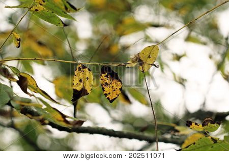 Yellow turning leaves on a tree branch.