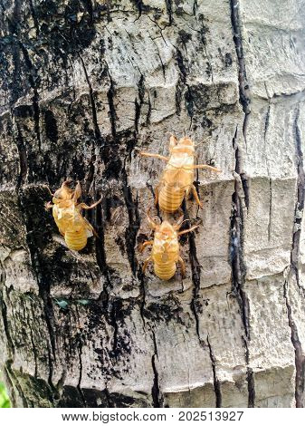 Cicada Molt On The Tree
