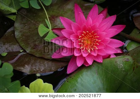 One beautiful large pink water lily resting on several green lily pads in a pond, viewed from above,close-up, aquatic plants.