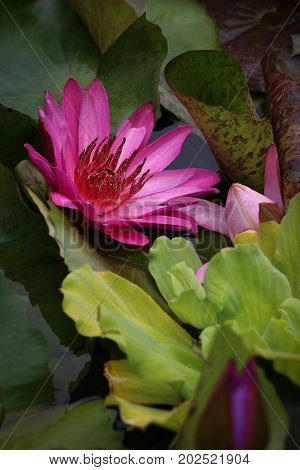 One bright pinkish purple water lily blossom viewed from the side amidst green lily pads in a garden water feature, close up.